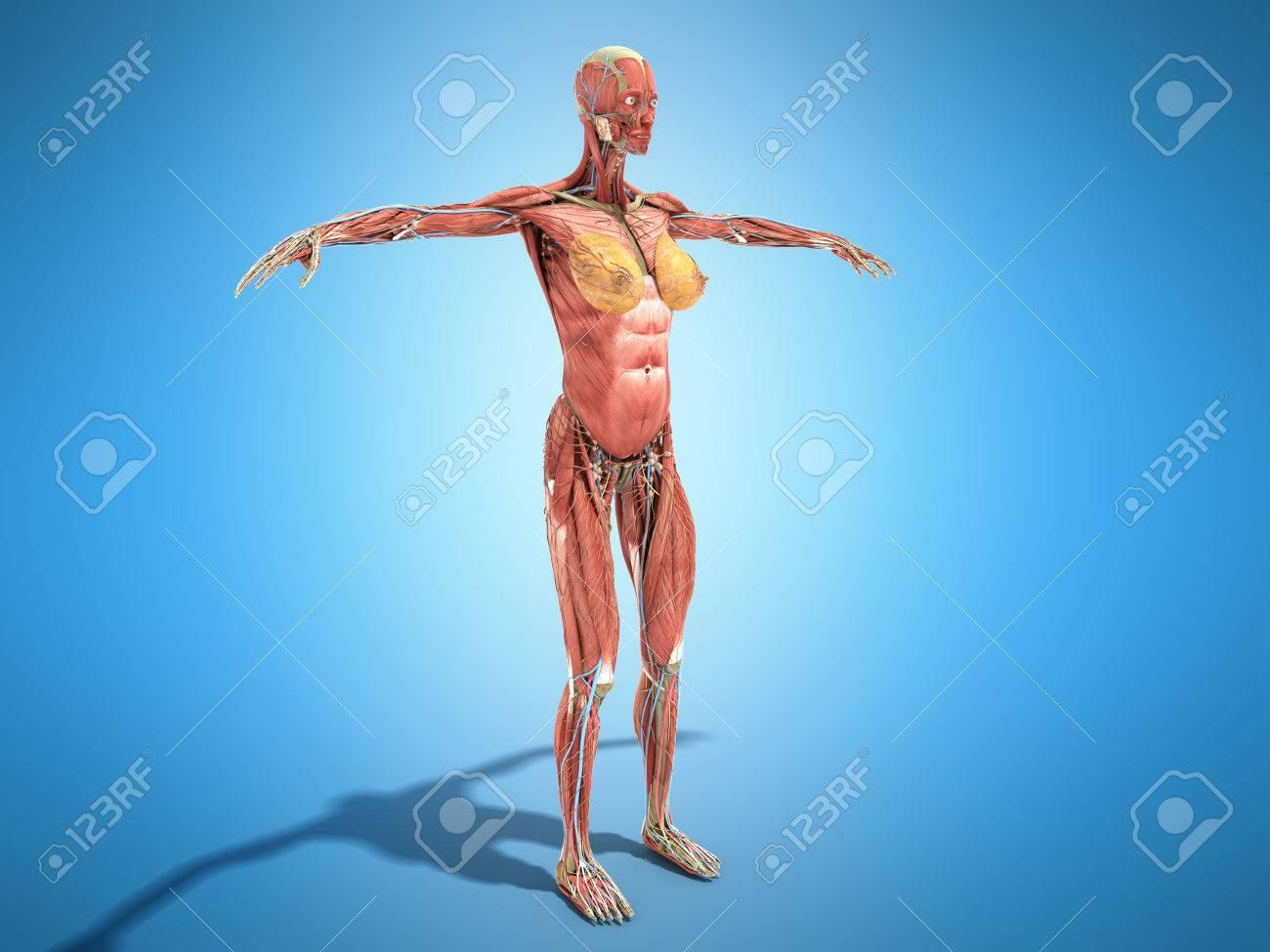 Eine Weibliche Anatomie Des Körpers Für Bücher 3d Render Auf Blau ...
