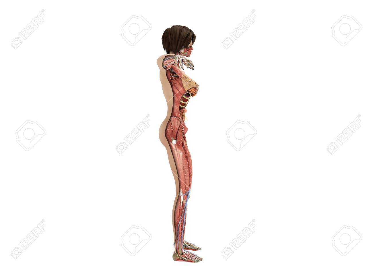 A Female Layer Body Anatomy For Books 3d Ilustration On White Stock ...