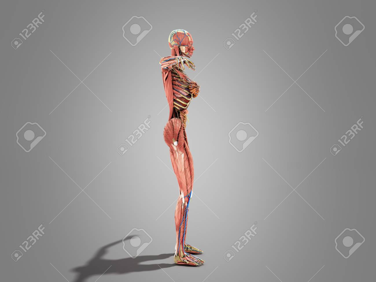 A Female Body Anatomy For Books 3d Ilustration On Grey Stock Photo ...