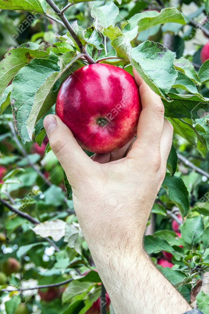 Mans Hand Picks Beautiful Red Apple From The Tree Stock Photo