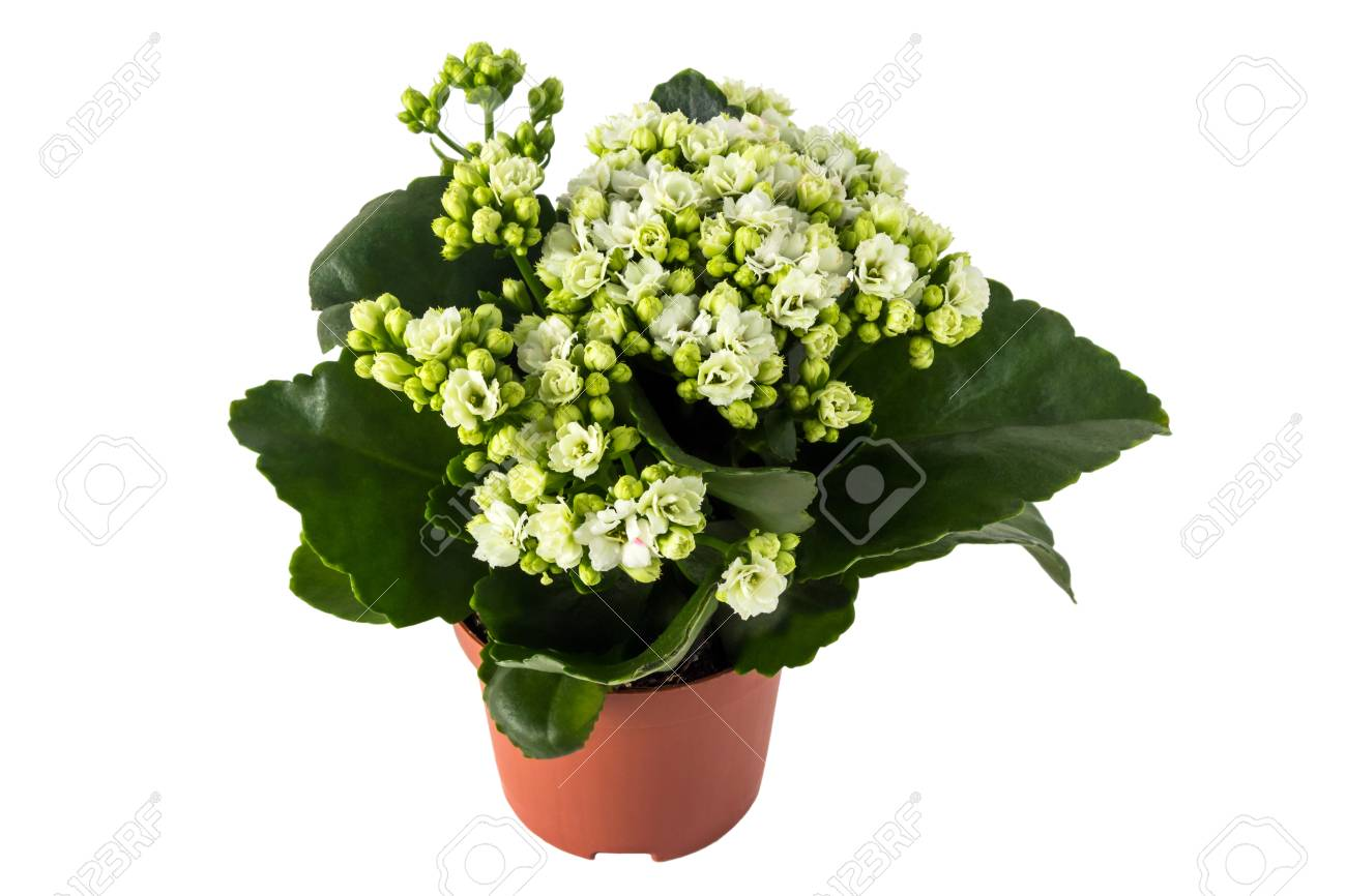 Kalanchoe Fiori Bianchi.Kalanchoe Calandiva White Flowers In Flowerpot Isolated On