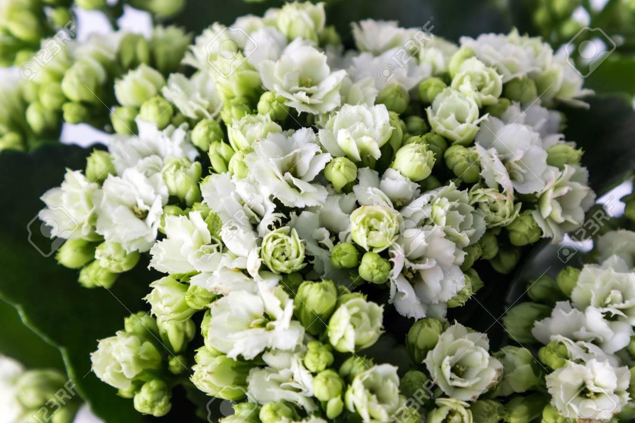 Kalanchoe Fiori Bianchi.Blossoming Of White Flowers Of Kalanchoe Calandiva Small Depth