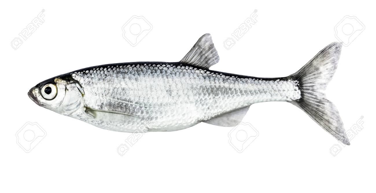 Fish isolated bleak (Alburnus) - 83727140