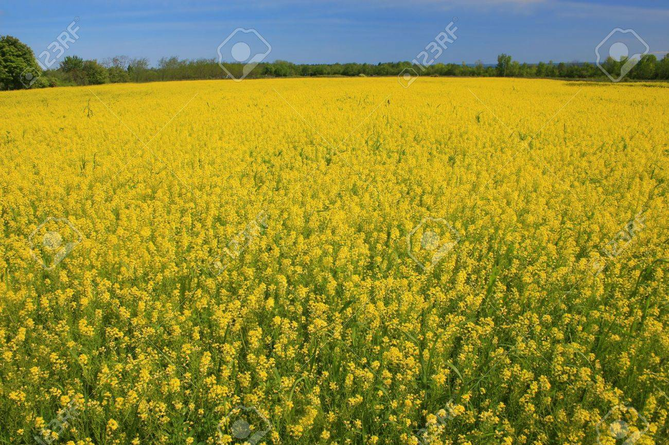 Foto Fiori Gialli.Immagini Stock Prato Di Fiori Gialli In Fiore Primavera O