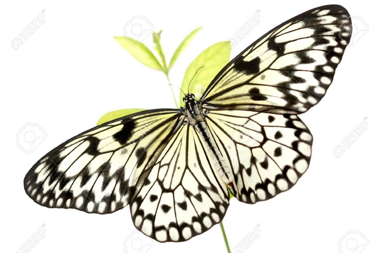 Impresionante Macro De Una Mariposa En Blanco Y Negro (Idea Leuconoe ...
