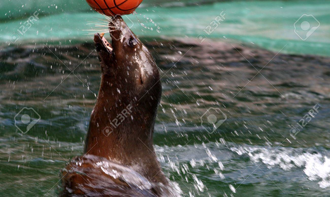 Seal playing with her ball in the water of the zoo Stock Photo - 7461606
