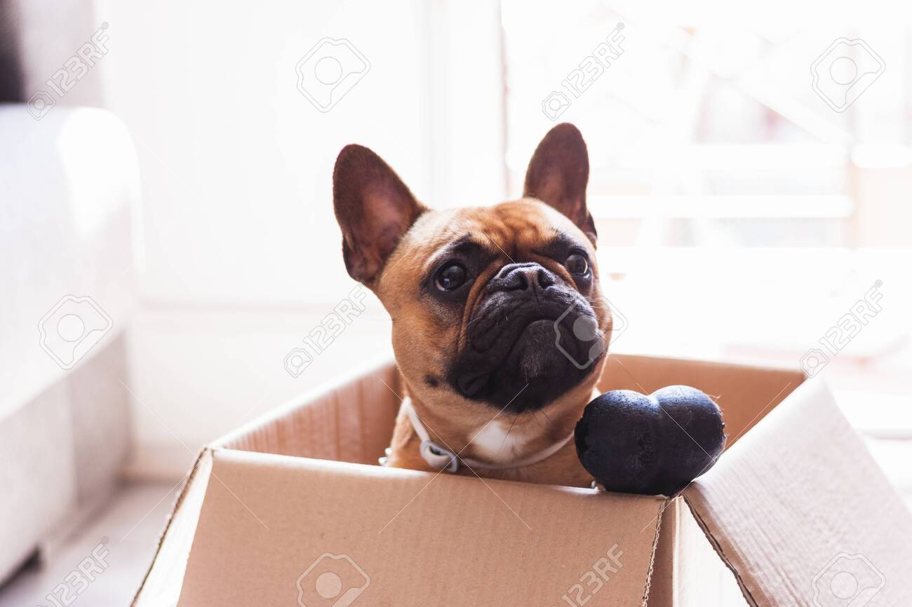 Stock photo of a puppy French Bulldog in a cardboard box with a toy bone - 145547770
