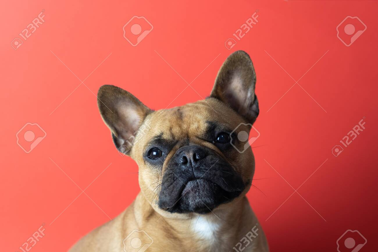Puppy French Bulldog on red background - 145915193