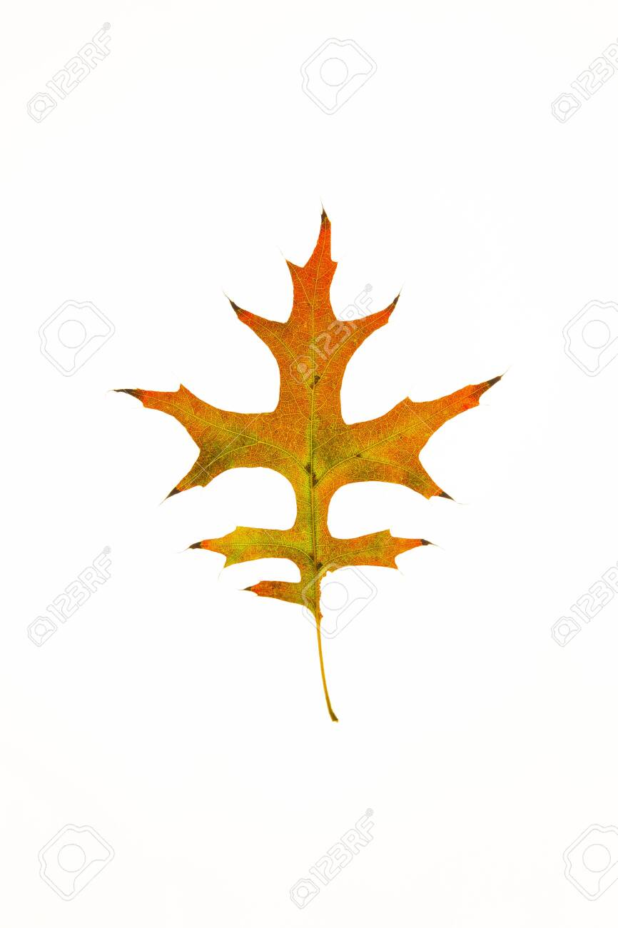 Pin Oak Leaf Stock Photo Picture And Royalty Free Image Image 132343417
