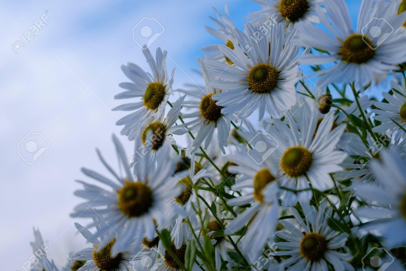 Champ de fleurs de mai de camomiles dans le jardin en journée ensoleillée  pour le fond d\'écran. Marguerites blanches de camomille dans la Prairie. Le  ...