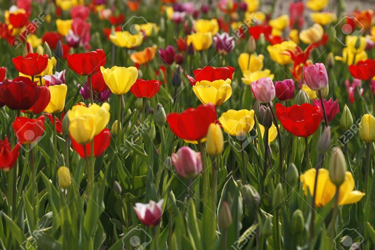 Tulip field in Lower Saxony, Germany Stock Photo - 5959659
