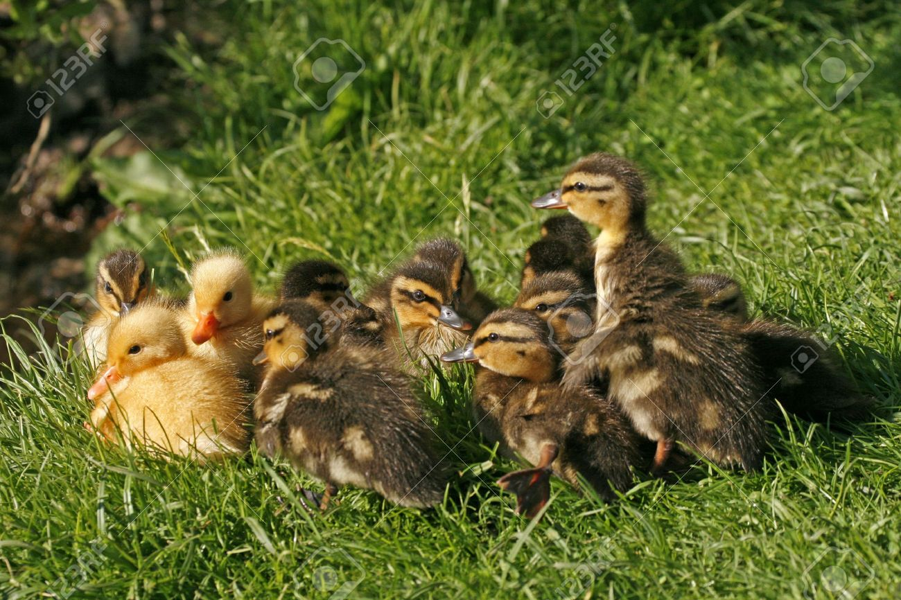 Hatchling of a duck, Anas platyrhynchos - Mallard Stock Photo - 6857423