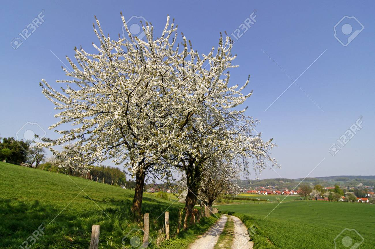 Footpath with cherry trees in Hagen, Lower Saxony, Germany, Europe Stock Photo - 9486813