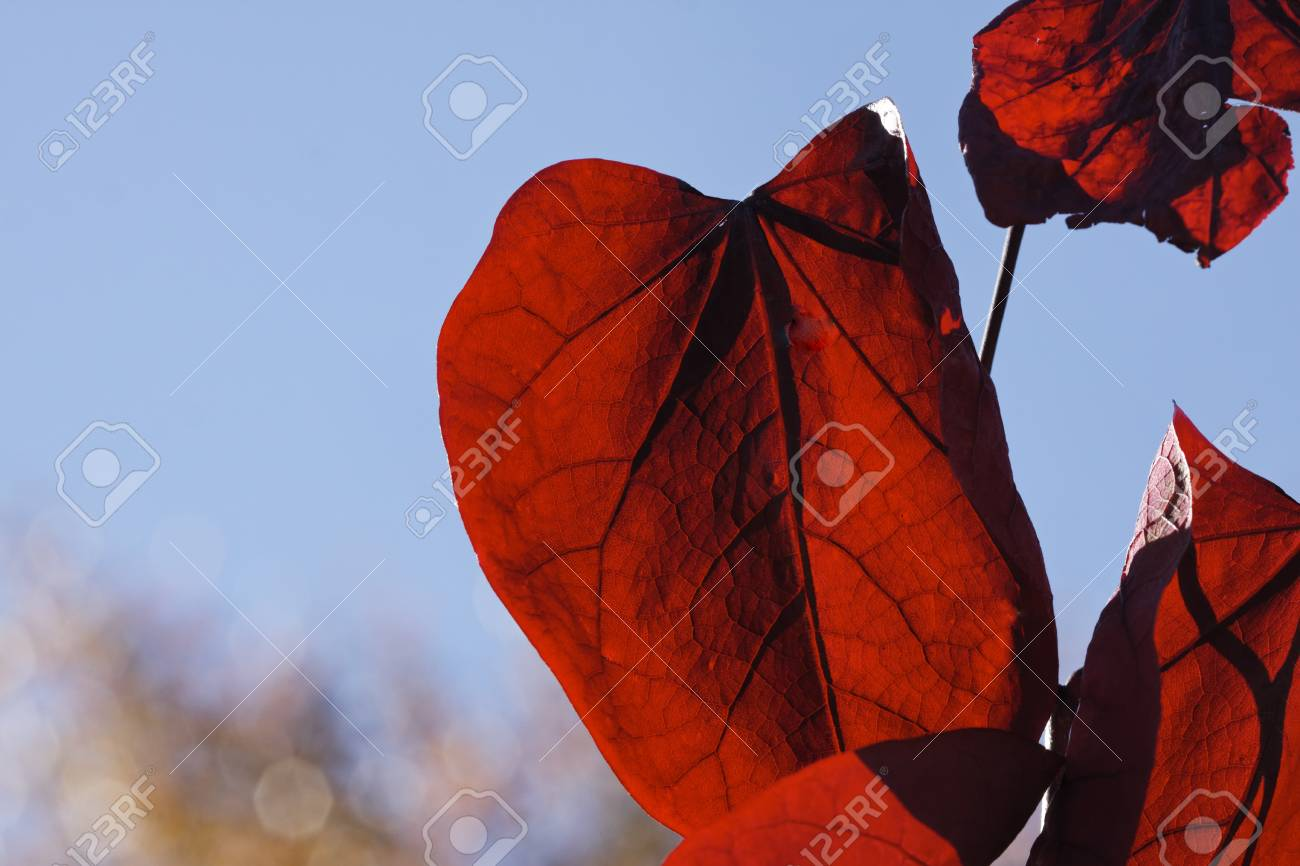 Colouring of the leaves in autumn, leaf detail, backlit shot Stock Photo - 12579467