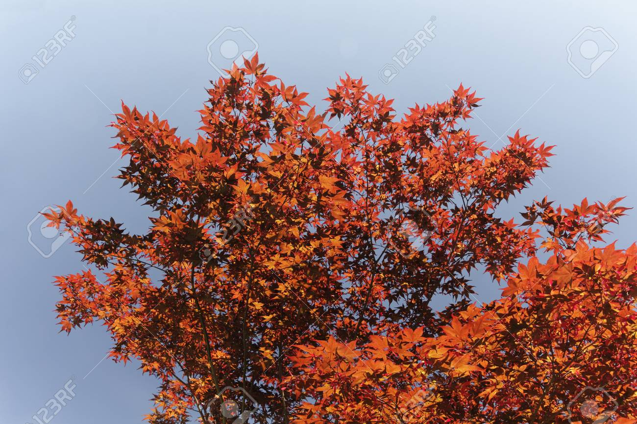 Acer palmatum, Japanese Maple, Smooth Japanese Maple in Germany, Europe Stock Photo - 23182968