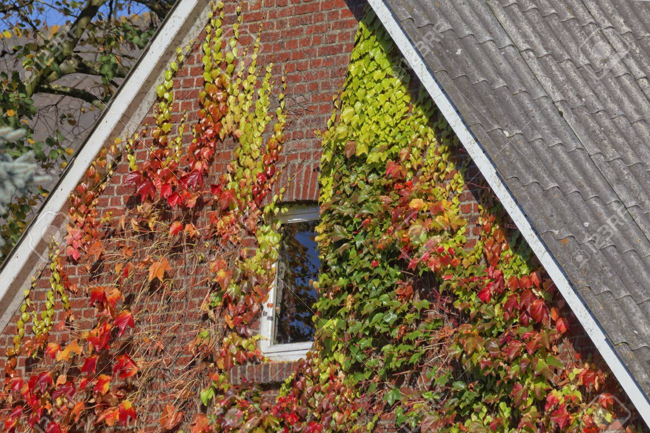 House With Japanese Creeper, Woodbine, Boston Ivy, Ivy In Lower ...
