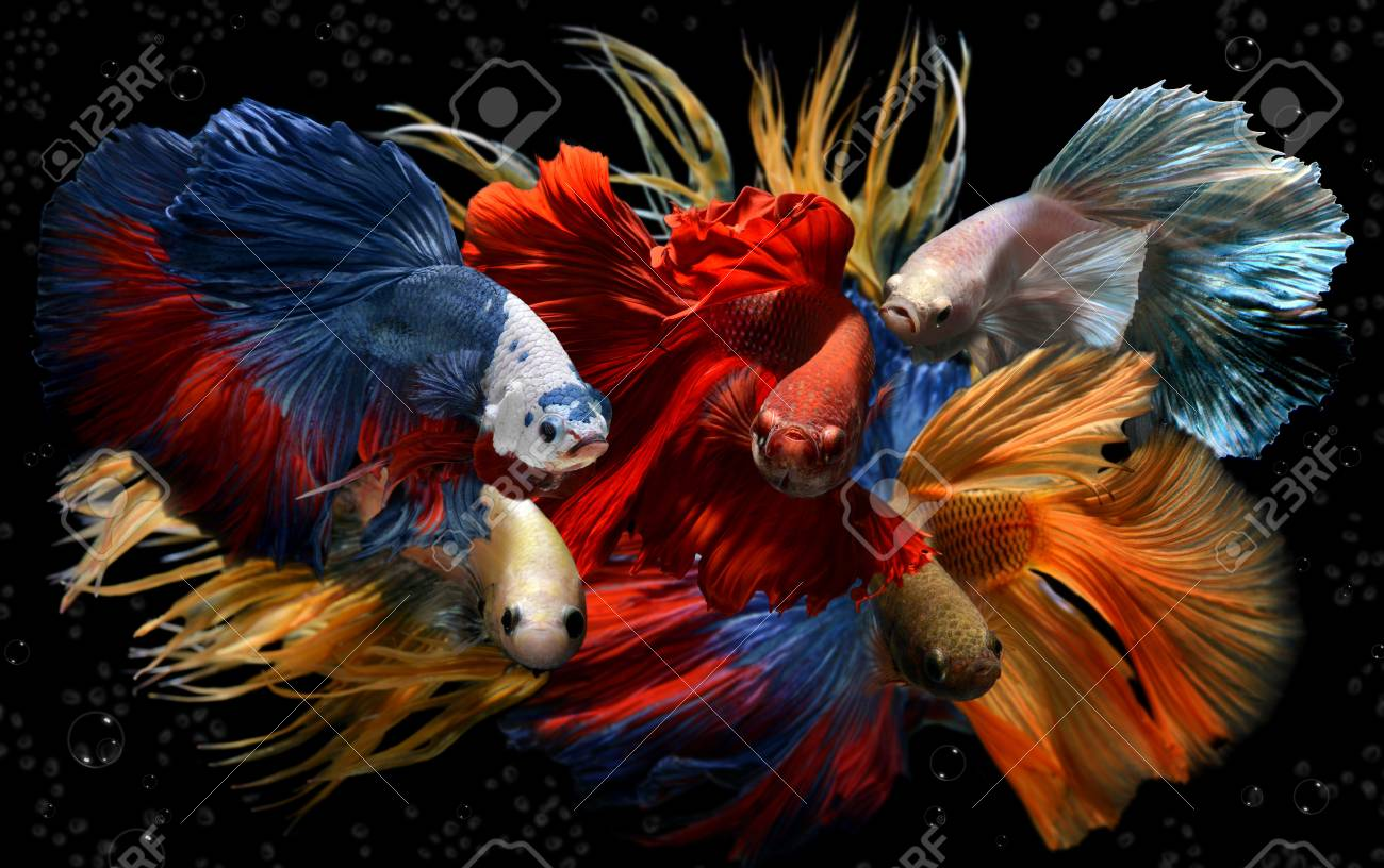 Mixed Colorful Fancy Betta Saimese Fighting Fish Motion And Colour ...