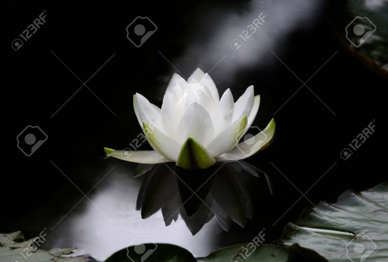 The flower of a Nymphaea alba, also known as the European White Waterlily, White Lotus, or Nenuphar on a dark water surface. Stock Photo - 17759344