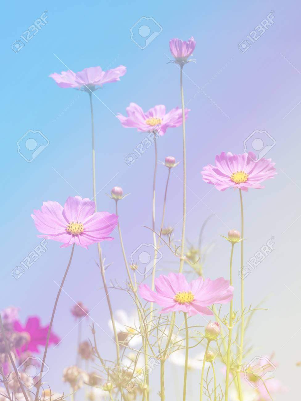 コスモスの花の背景 カラー フィルター効果で壁紙が作られました の