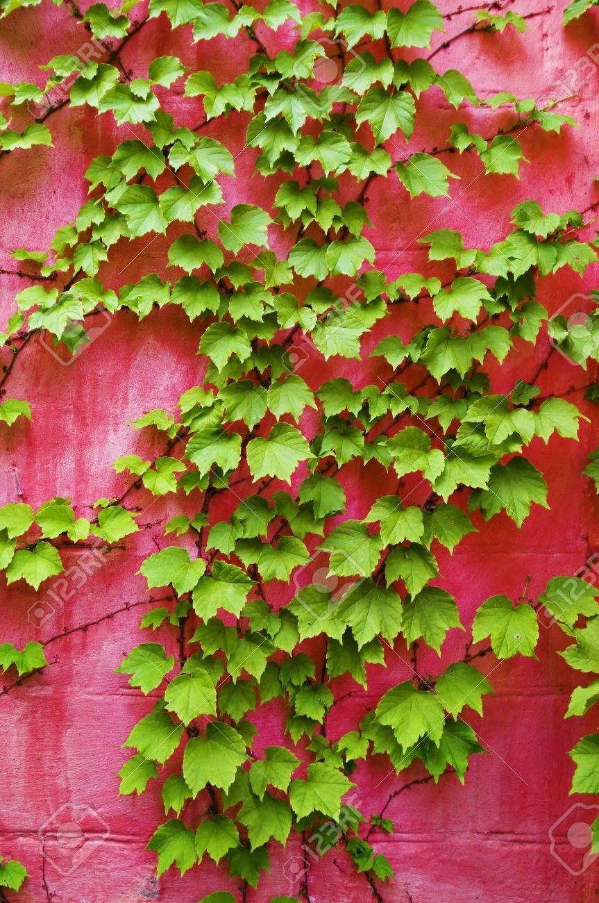 green ivy on pink wall background Stock Photo - 11496709