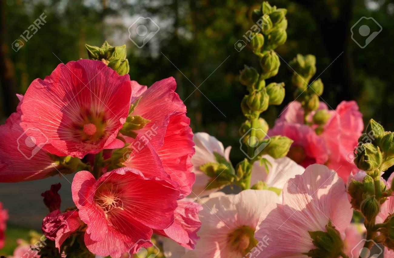 Fleur Rose Tremiere Rouge Et Rose Dans Le Jardin Tres Belle Fleur