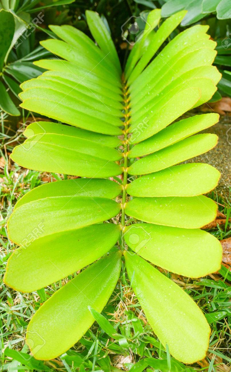 Tropical House Plants Scientific Name Zamia Furfuracea. Green Leaves For  Natural Background