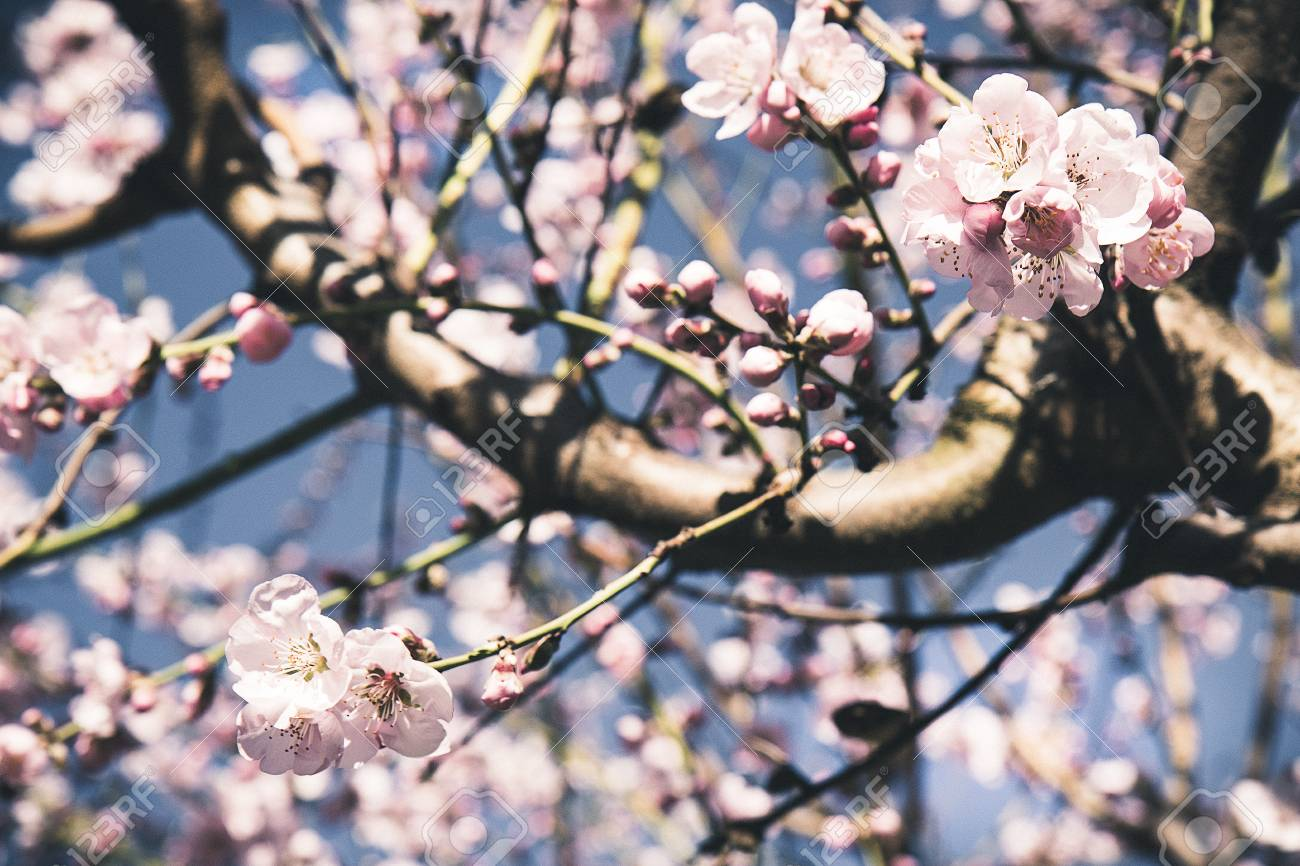 Almond tree blooming white and pink flowers in spring with blue sky almond tree blooming white and pink flowers in spring with blue sky background stok fotoraf mightylinksfo