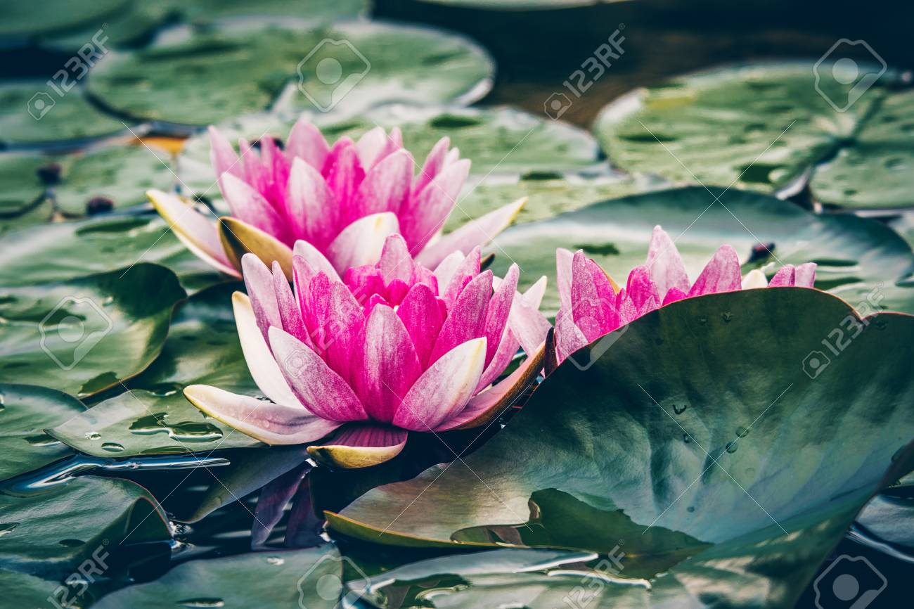 Beautiful Pink Coloured Water Lily Flowers Growing In A Pond Stock