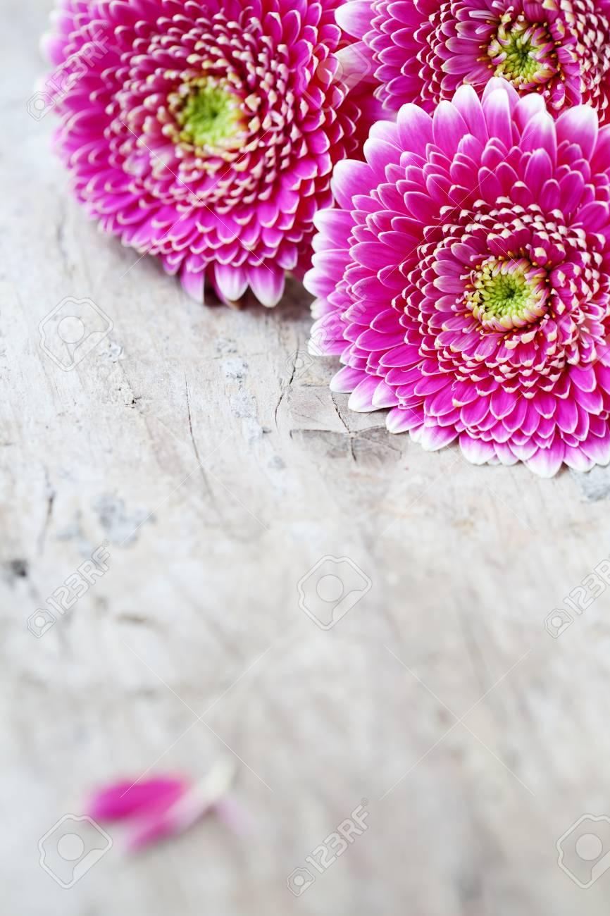 Pink gerberas Stock Photo - 14732376