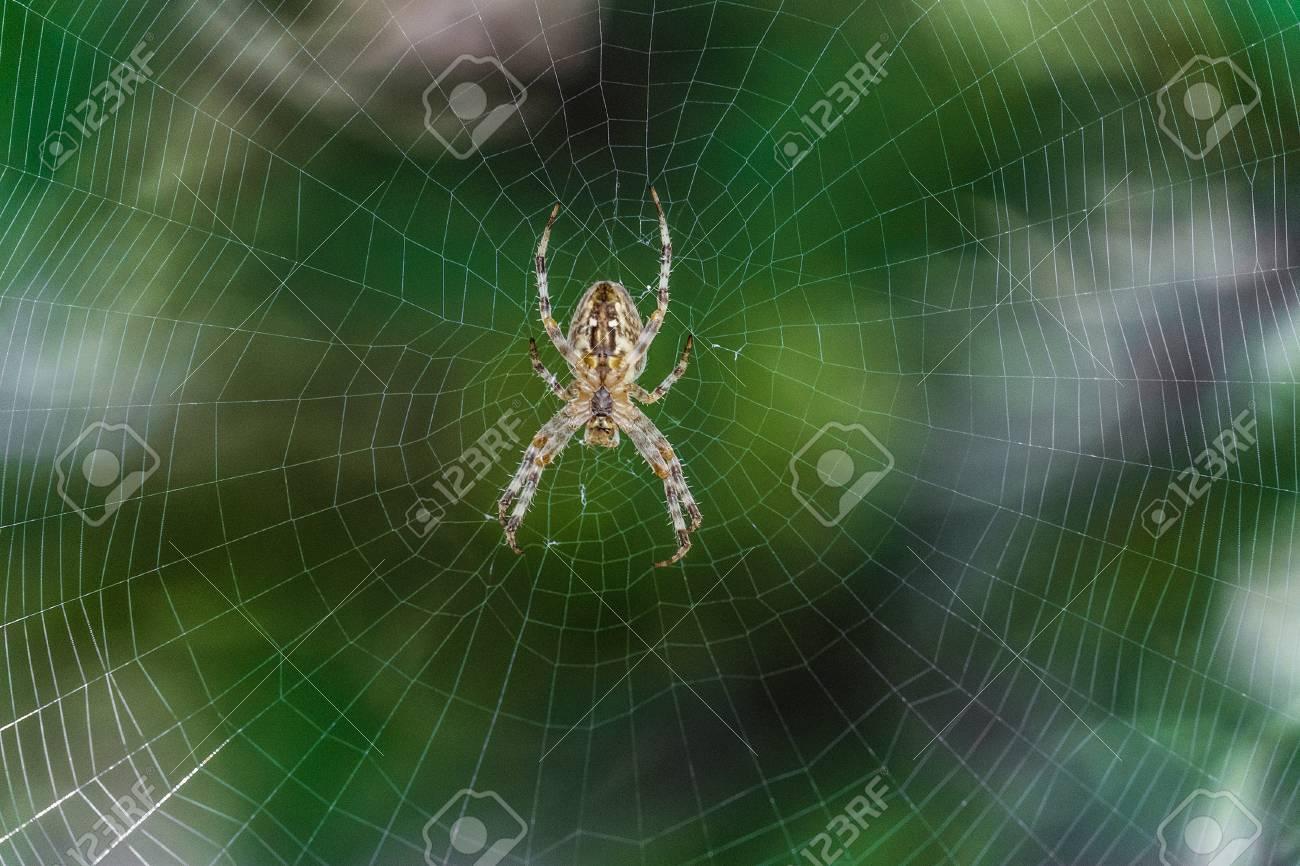 Big Garden,spider araneus in the center of web. Natural background..