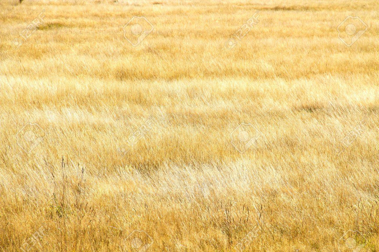 dry grass field background. Natural Yellow Dry Grass Field As A Background Stock Photo - 14124502 Y