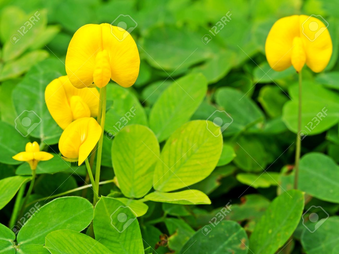 Small yellow flower blooming on the ground pinto peanut plant stock small yellow flower blooming on the ground pinto peanut plant stock photo 14492743 mightylinksfo