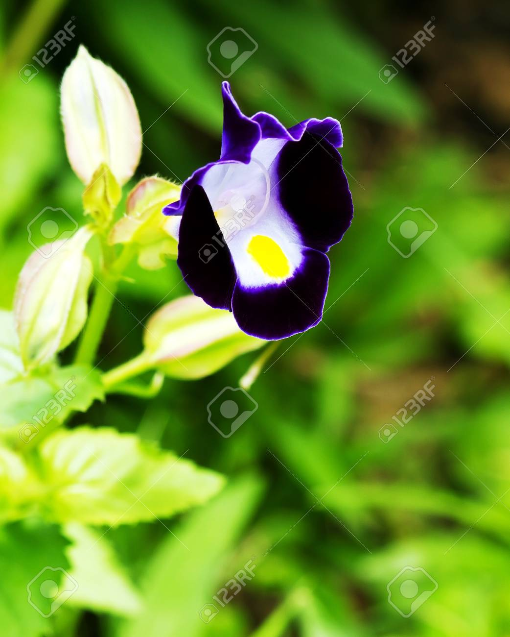 Close Up View Small Purple With Yellow Flower Torenia Fournieri