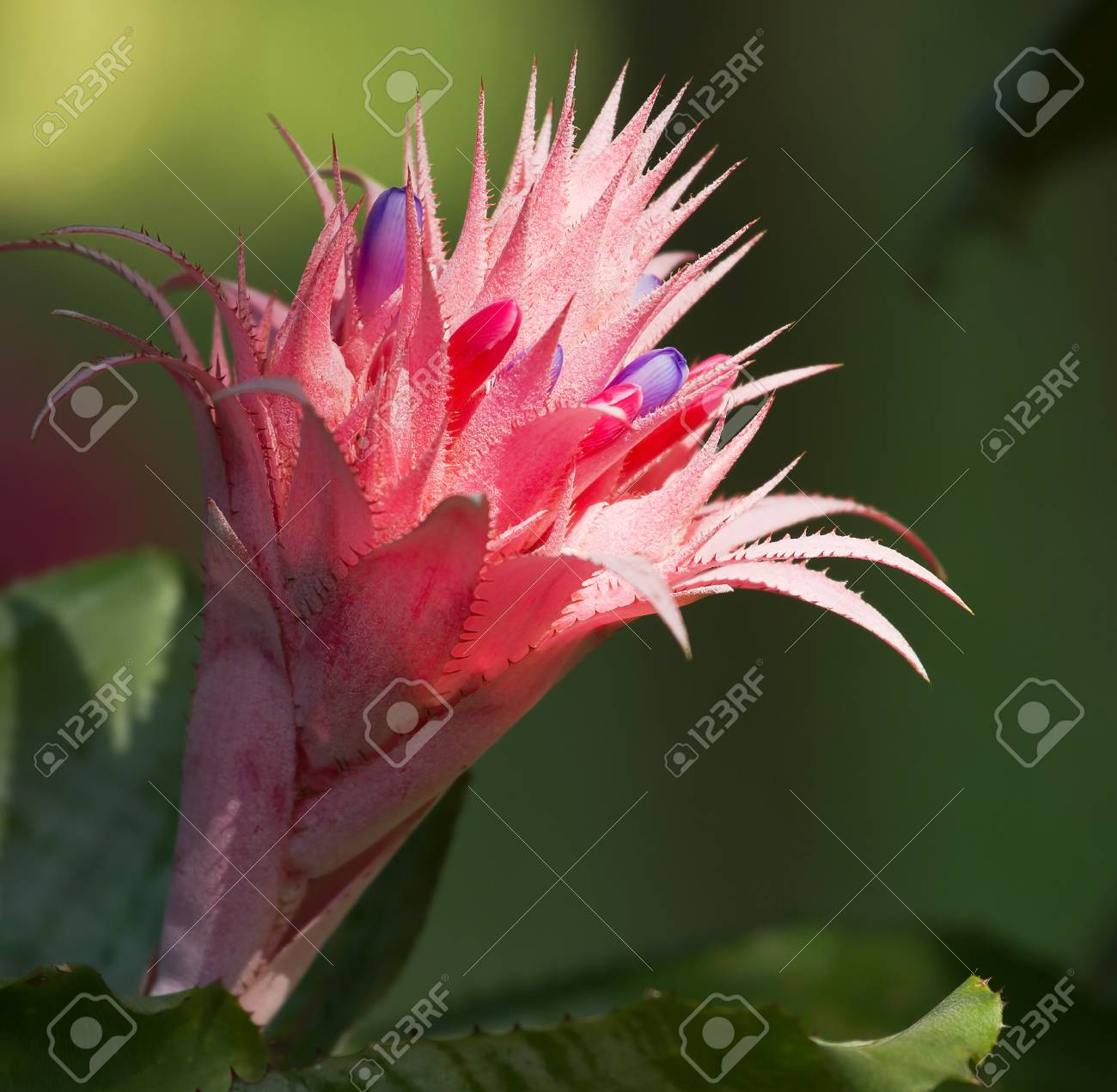 Macro of pink bromeliad flower in bloom in springtime aechmea macro of pink bromeliad flower in bloom in springtime aechmea fasciata bromeliaceae stock photo mightylinksfo