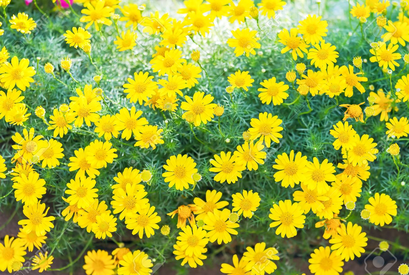 Yellow flowers of dahlberg daisy or golden fleece in spring day yellow flowers of dahlberg daisy or golden fleece in spring day thymophylia tenuiloba dc mightylinksfo