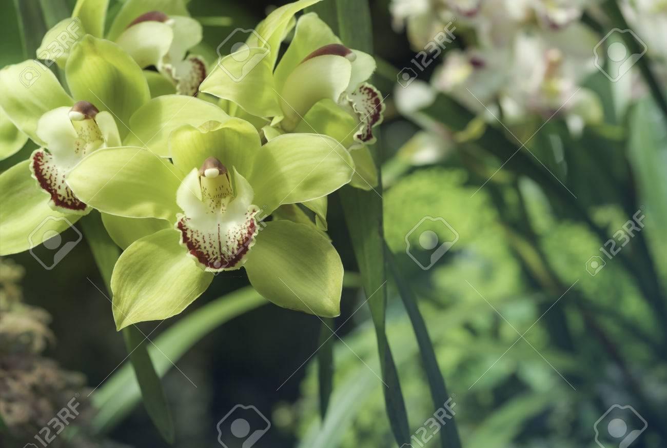 Archivio Fotografico   Verde Colore Giallo Orchidea Cymbidium Fiore In  Giardino Botanico In Tonalità Blu