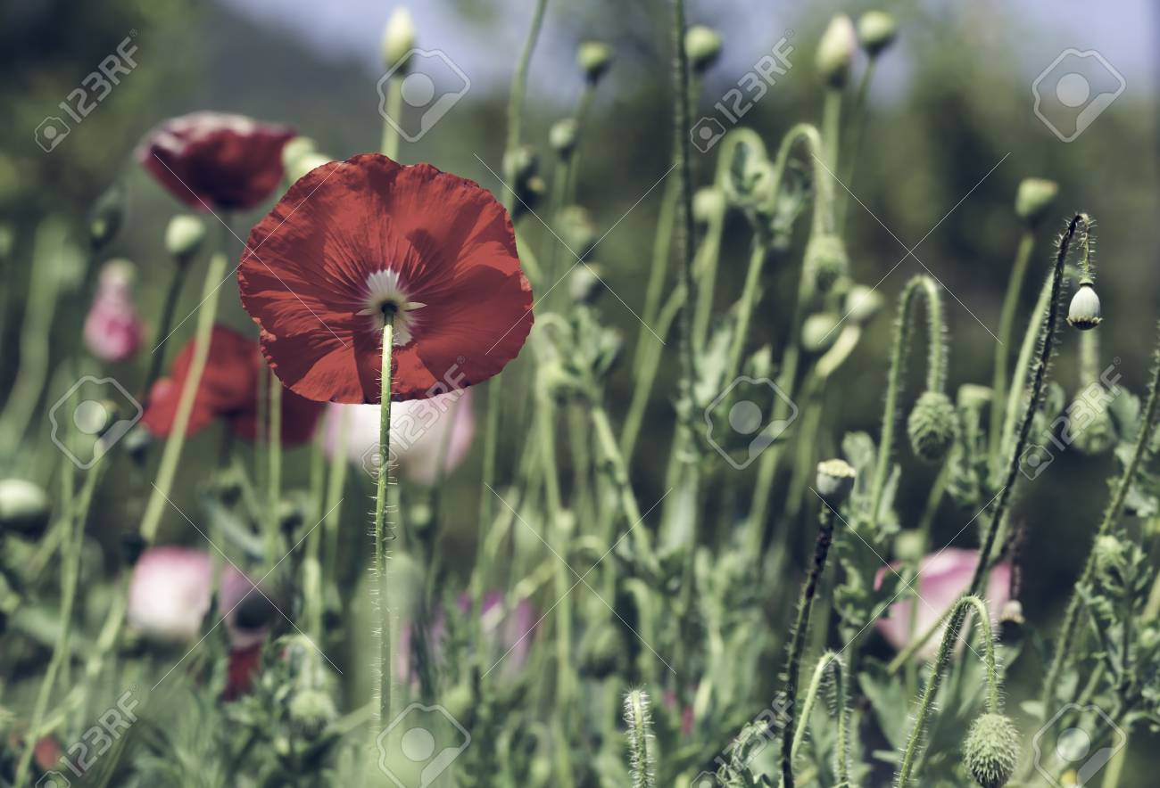 Red Poppy Flowers Buds And Pods Blossom In The Park Stock Photo