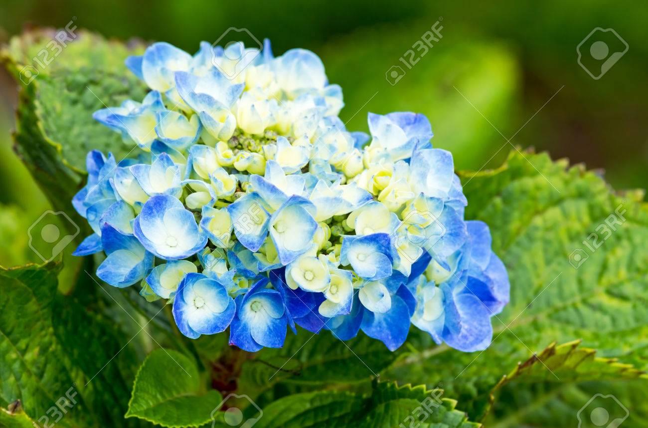 Cluster of blue yellow hydrangea flowers blooming in flower garden cluster of blue yellow hydrangea flowers blooming in flower garden stock photo 36400194 mightylinksfo