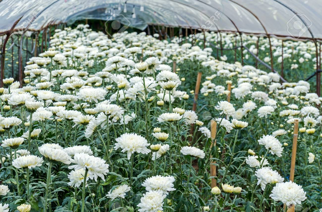 White Chrysanthemum Flowers Blossom In Plastic Cover Root In.. Stock ...