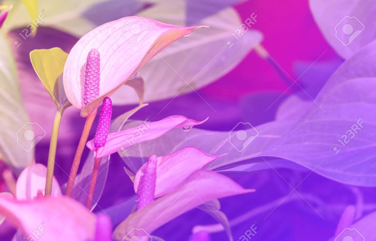 couleur pourpre anthurium fleur éclose dans le jardin botanique