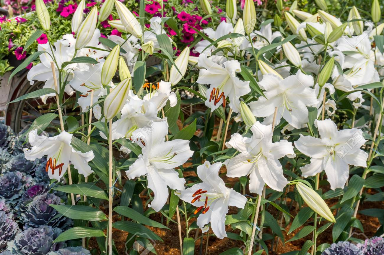Group of white color lily flowers blossom in the park stock photo group of white color lily flowers blossom in the park stock photo 43937015 izmirmasajfo Choice Image