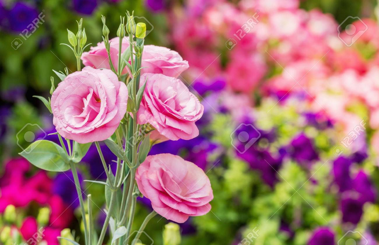 Close up of pink flowering lisianthus or eustoma plants blossom close up of pink flowering lisianthus or eustoma plants blossom in flower garden stock photo mightylinksfo