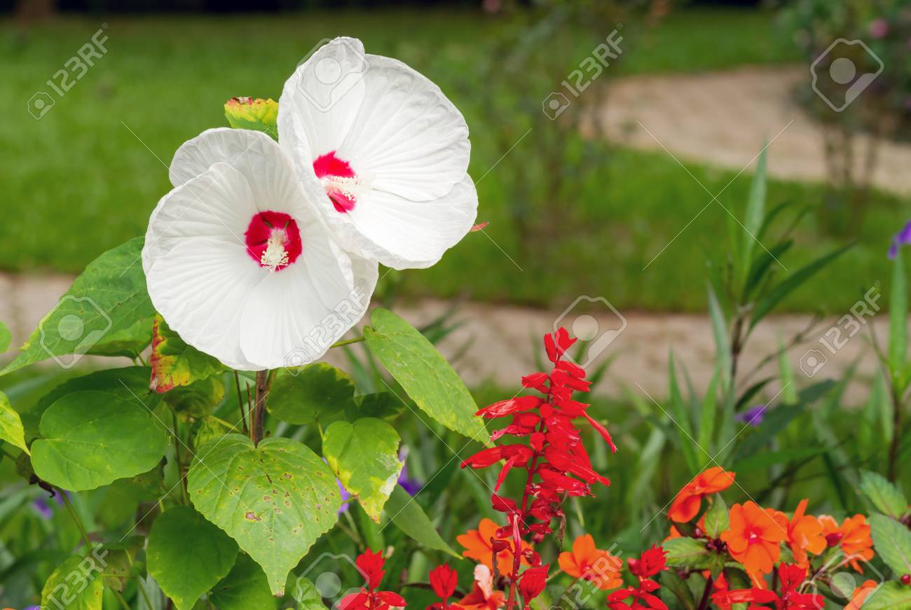 Hibiscus Luna White Blossom In Flower Garden Stock Photo Picture