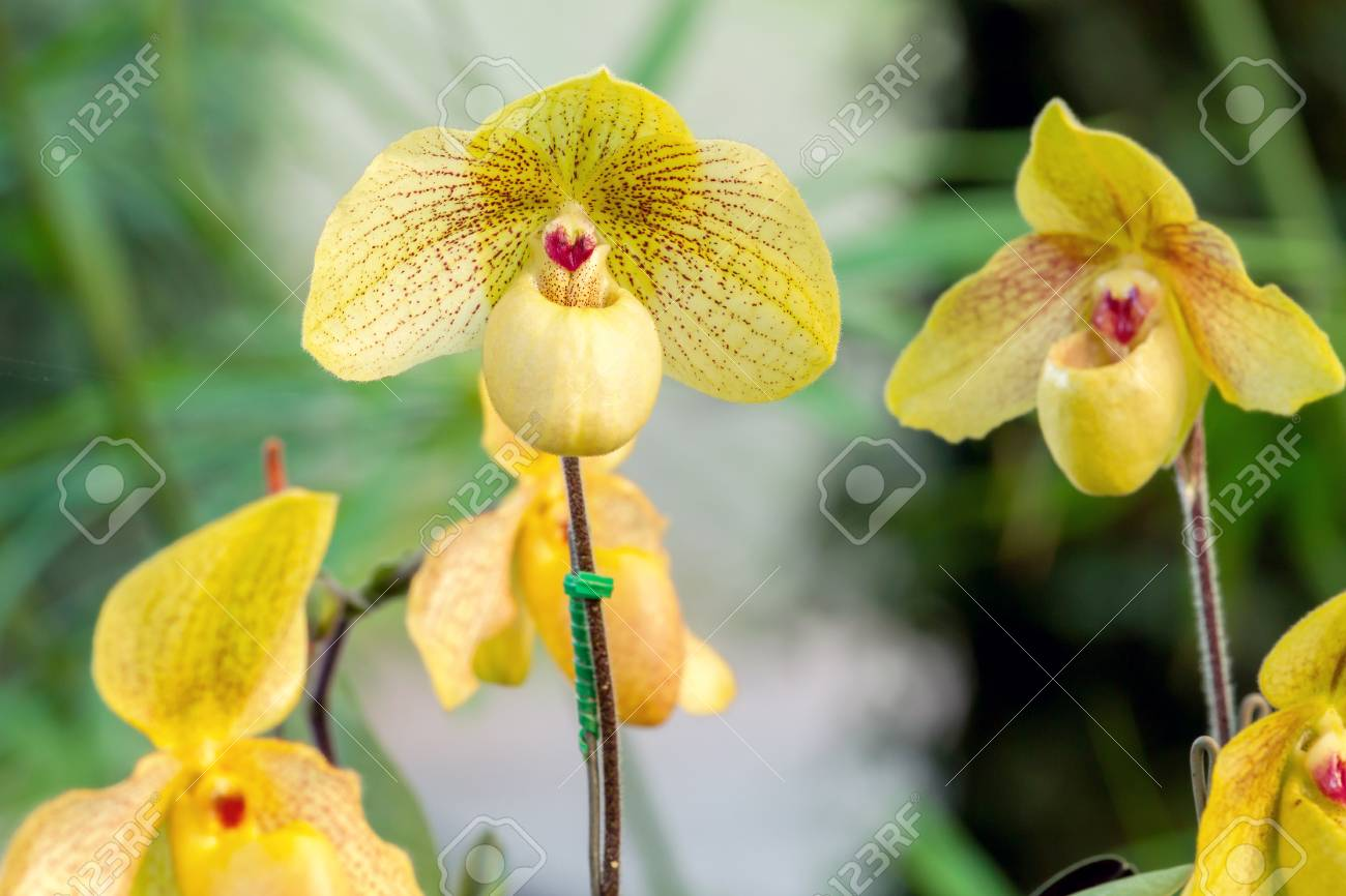 Group Of Yellow Lady Slipper Orchid Blossom In Flower Garden Stock