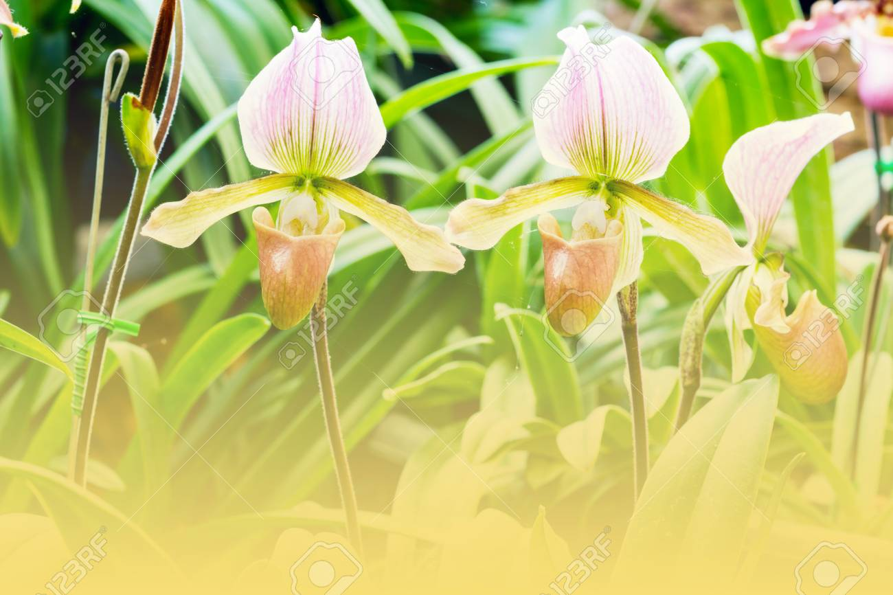 Group of pink lady slipper orchid blossom in flower garden stock group of pink lady slipper orchid blossom in flower garden stock photo 55100463 mightylinksfo