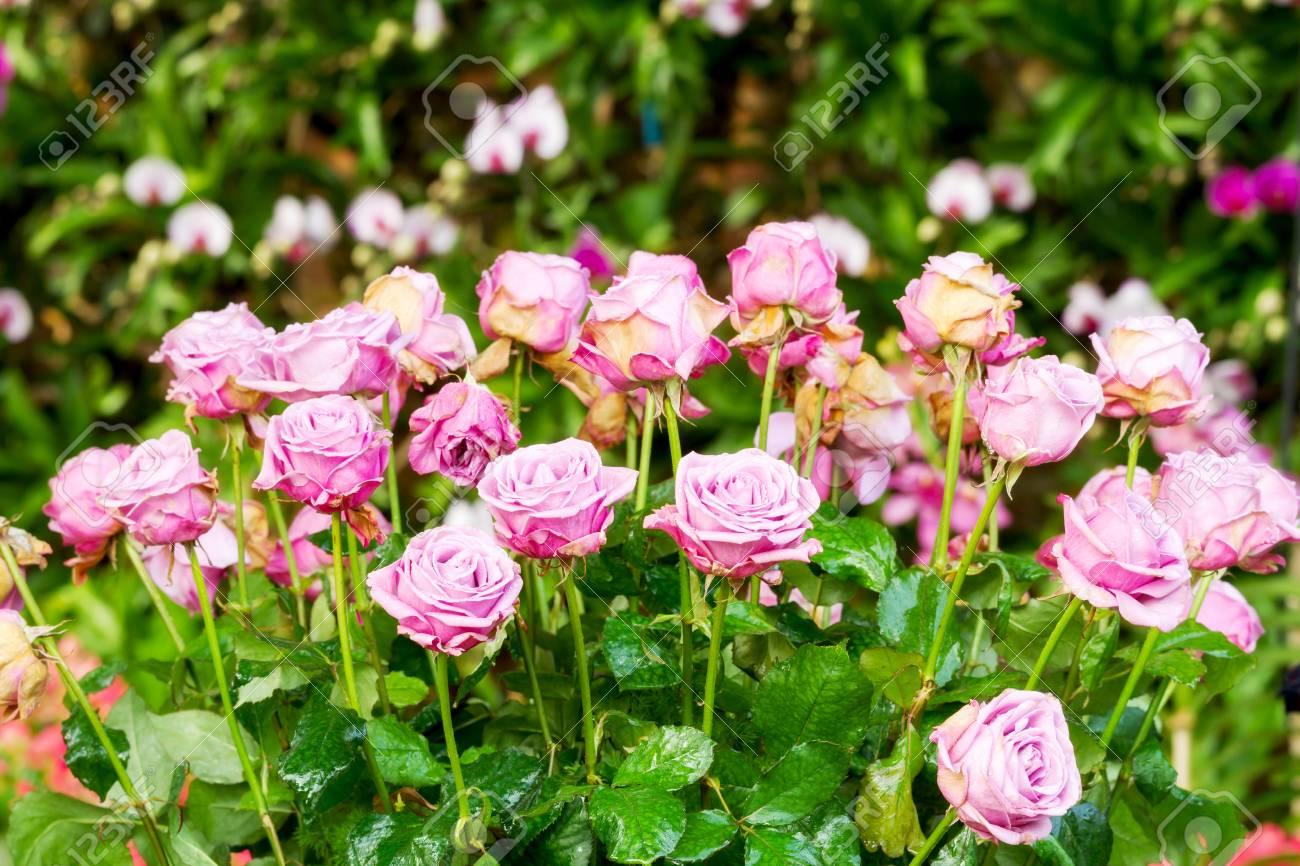 Ramos de rosas en flor rosa en el jardín de flores decoradas