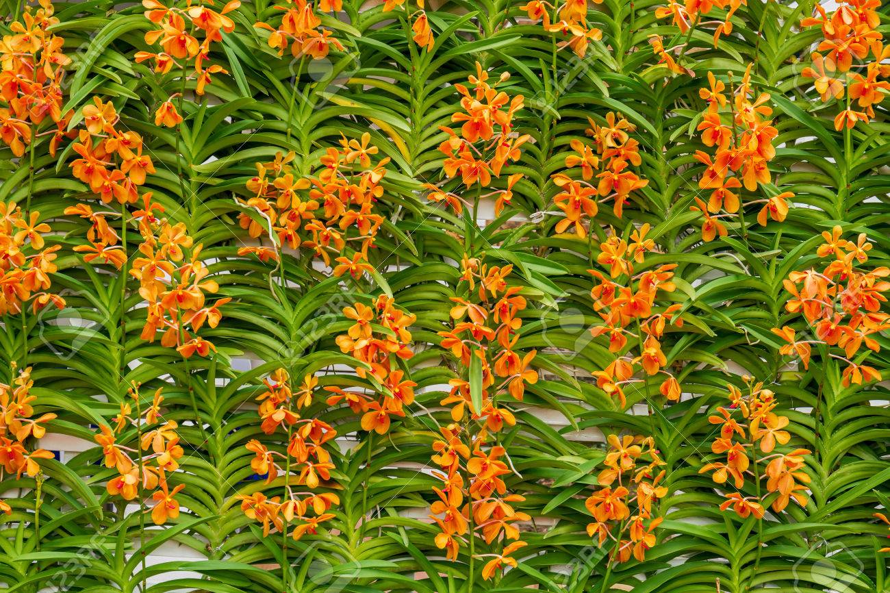 Group Of Orange Orchid Flowers Decorate On Wall In Flower Garden ...