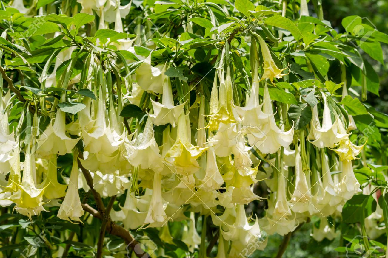 Many white brugmansia named angels trumpet or datura flower blossom many white brugmansia named angels trumpet or datura flower blossom in summer time stock photo mightylinksfo