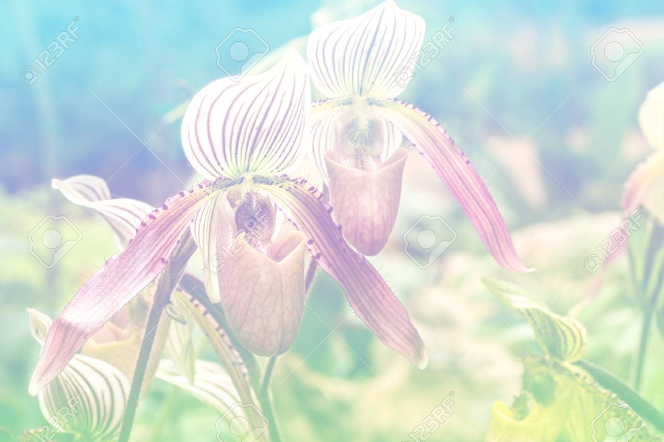 Close Up Of Pink White Lady Slipper Orchid Blossom In Flower Stock