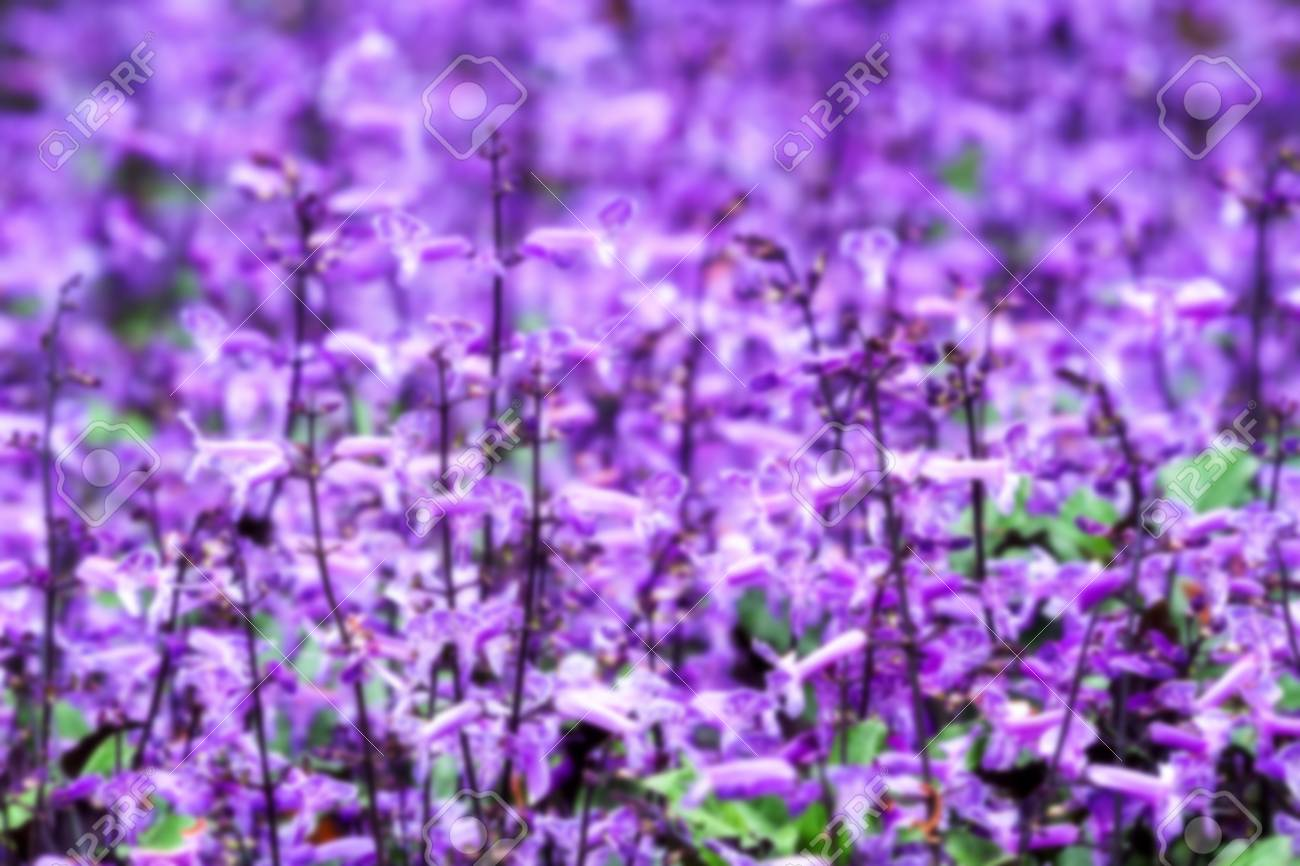 Group Of Small Purple And White Flowers Blooming Blurred Background